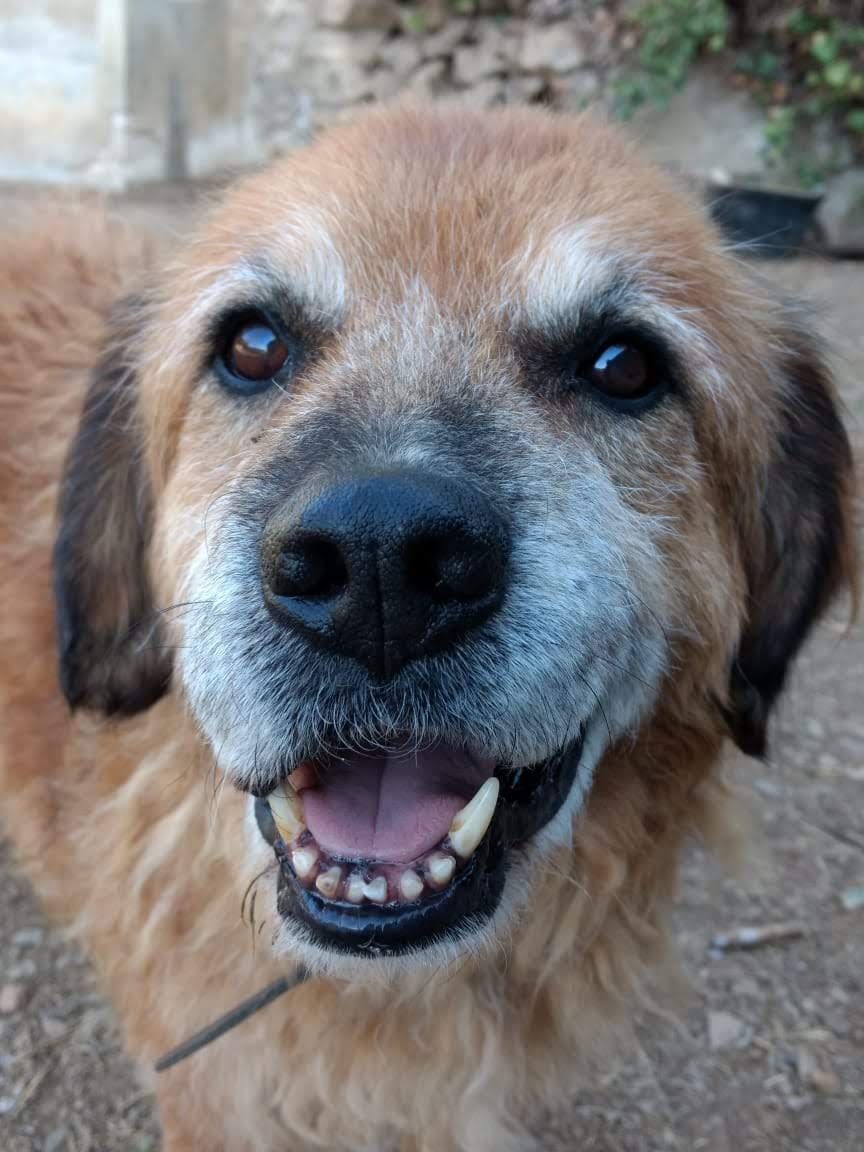 Campa dic19 perro cruce mastín en adopción