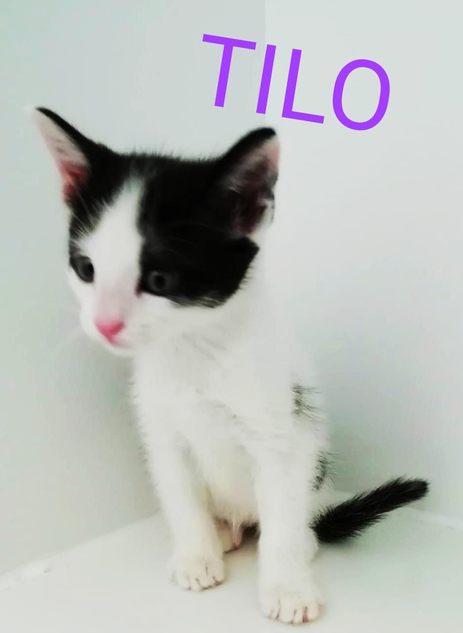 tilo gato cachorro en adopción en la protectora de animales de Jaca may20