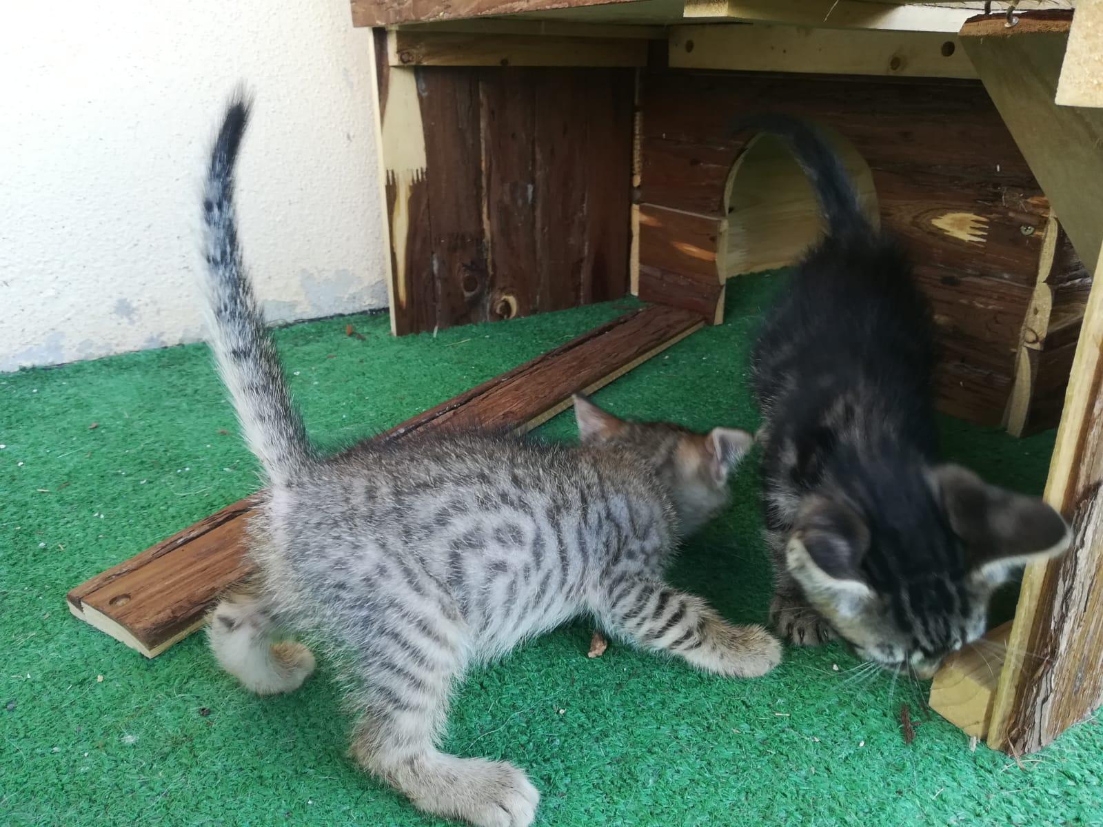 GATITOS GATO CACHORRO EN ADOPCIÓN EN LA PROTECTORA DE ANIMALES DE JACA