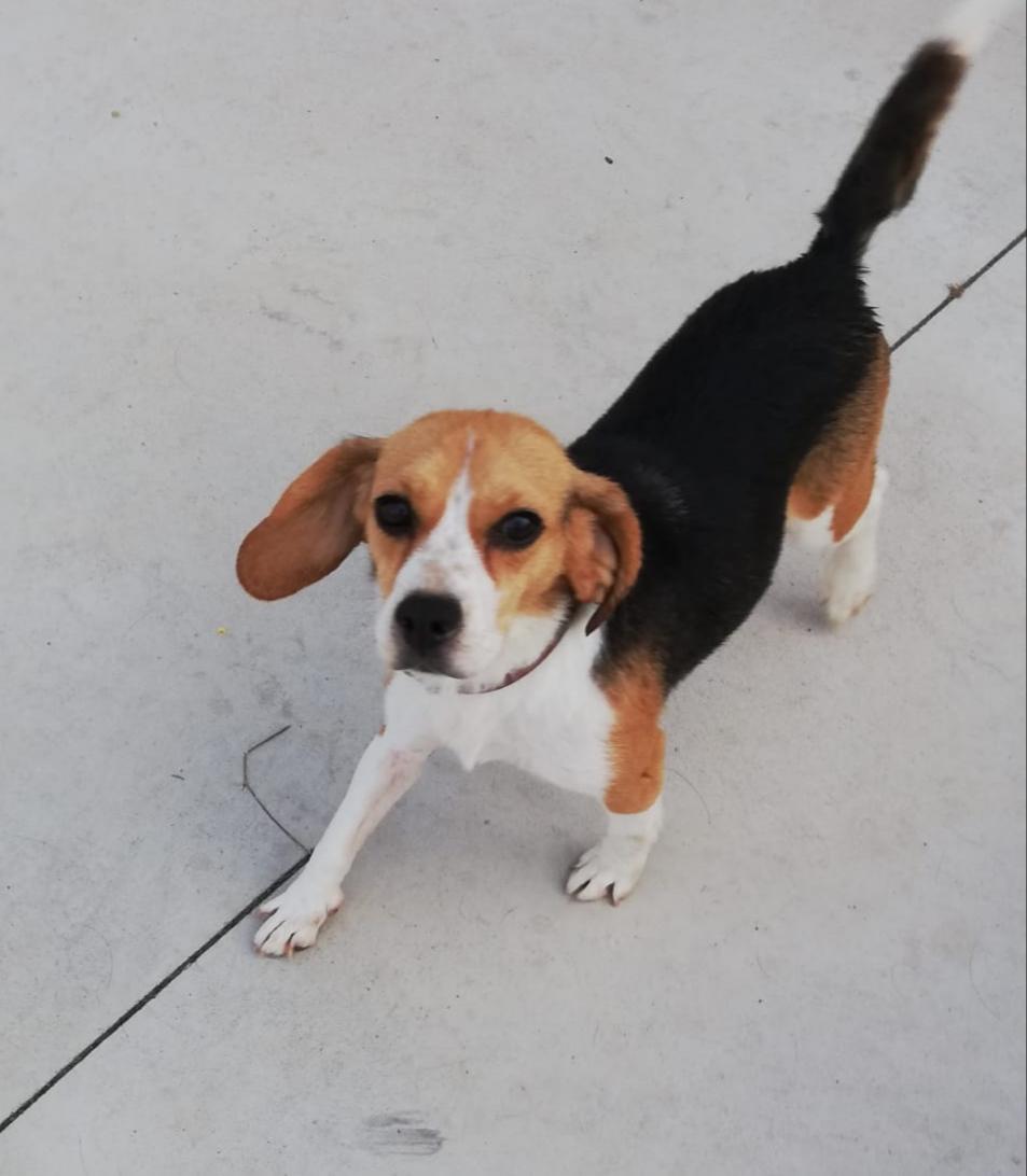 luna perra Beagle ago20 perro en adopción en la protectora de animales de jaca