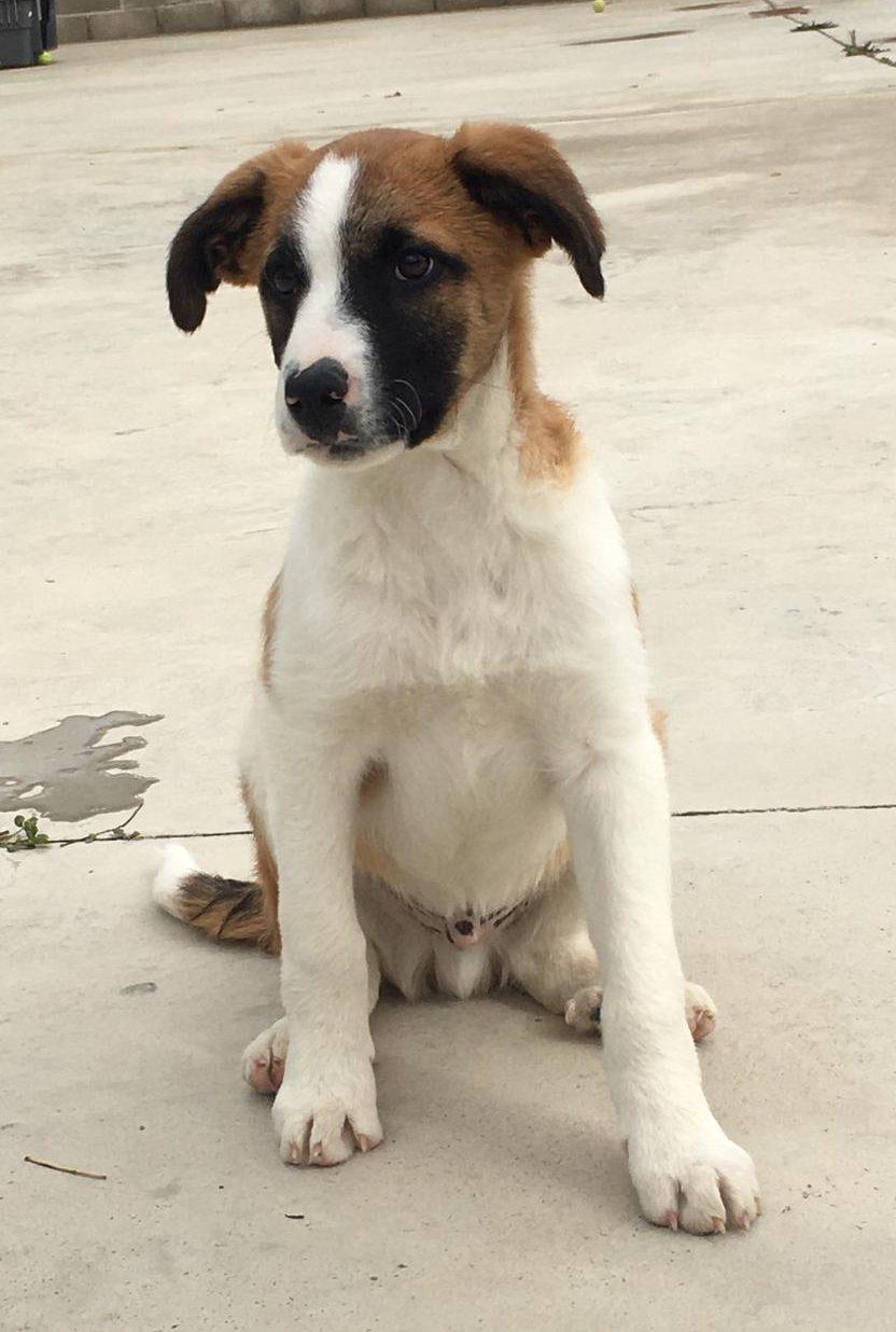 turron perro cachorro mastin español en adopcion en la protectora para animales abandonados de jaca nov20