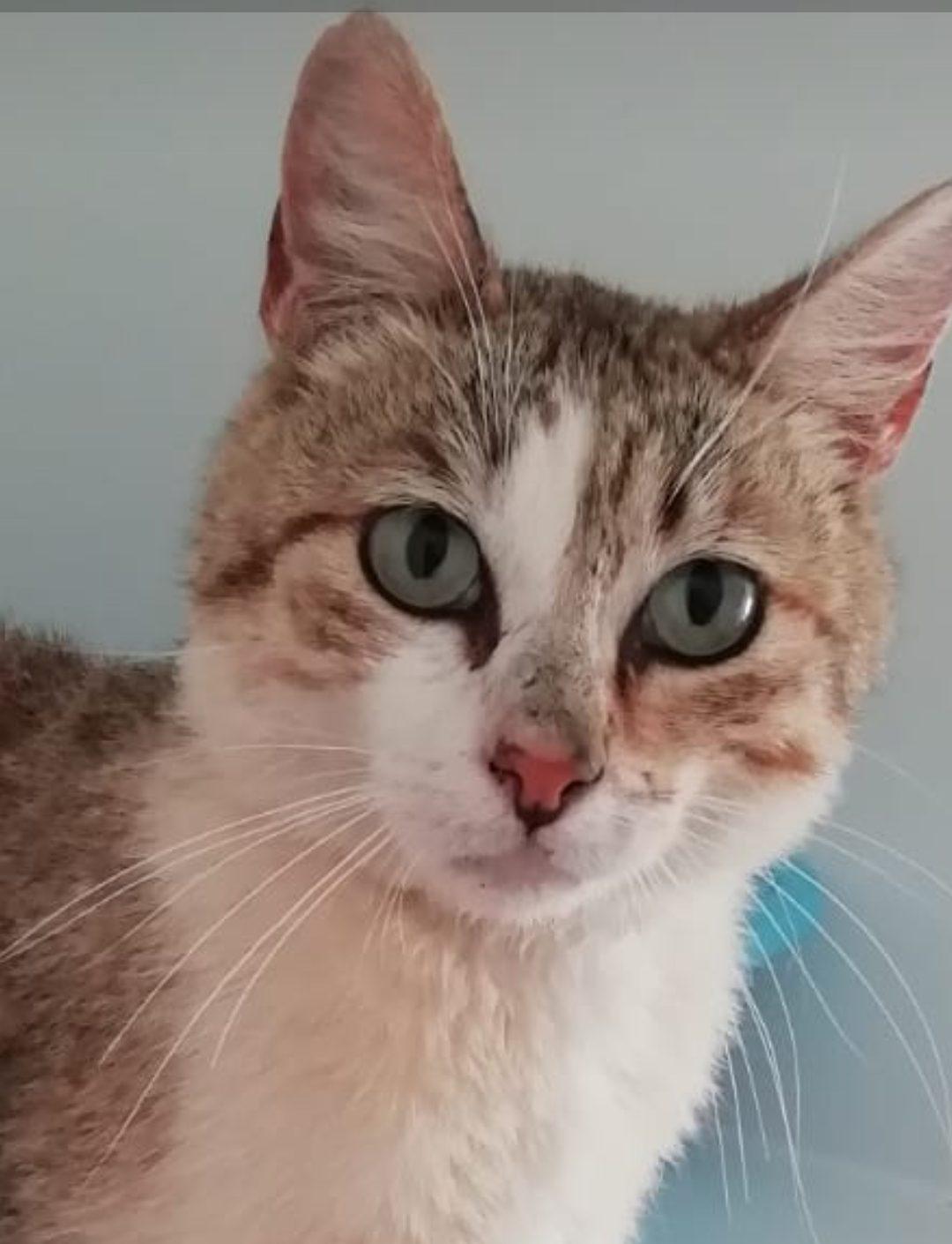 olaf gato joven en adopción el la protectora fpara animales abandonados de jaca 2021