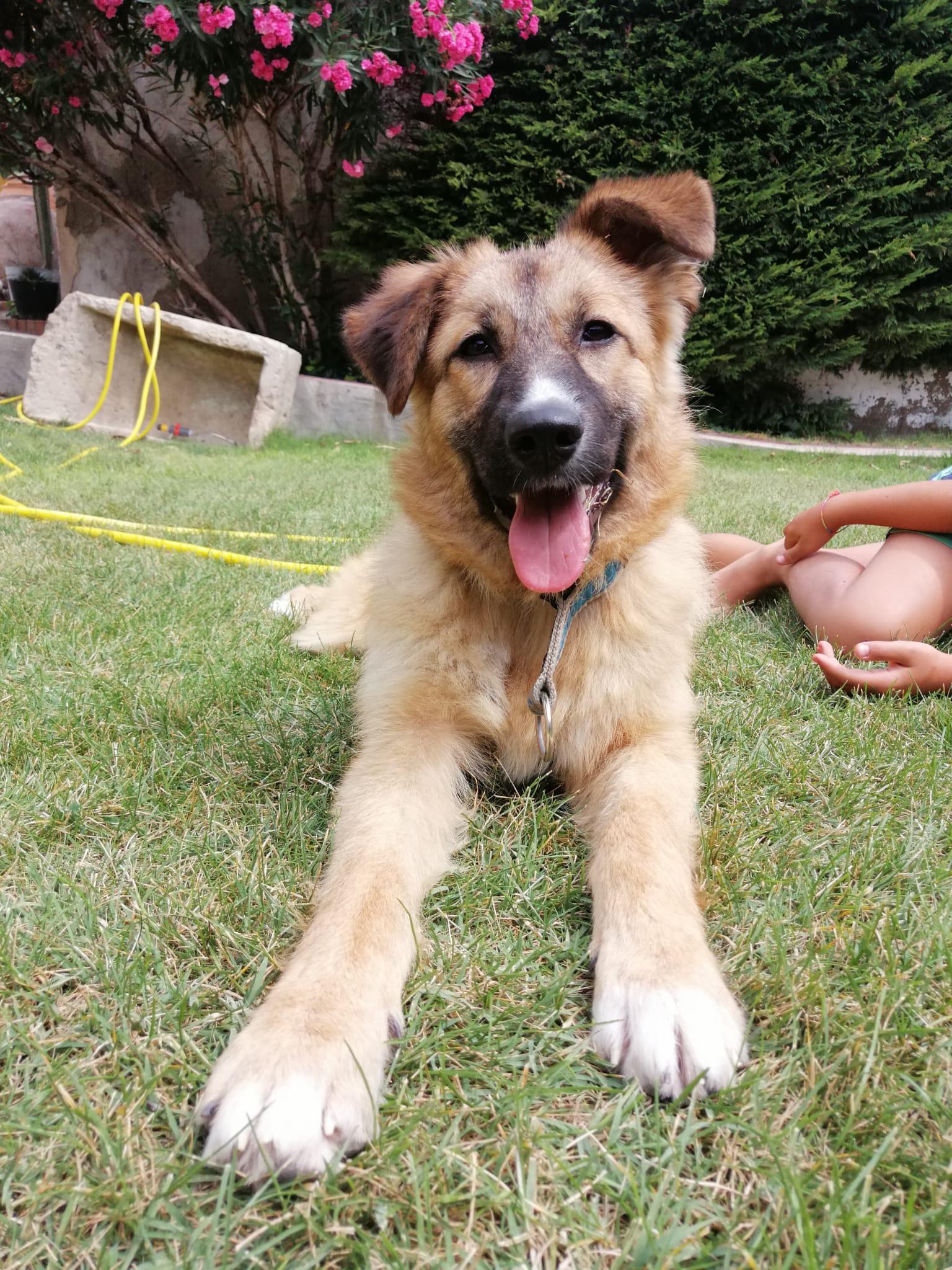 ELA perrA CACHORRA PASTOR ALEMAN cachorro en adopción en la protectora para animales abandonados de jaca 2021