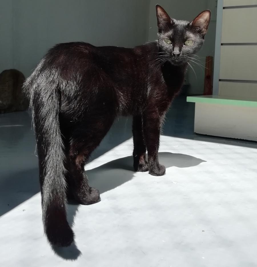 shiva gata joven en adopcion en la protectora para animales abandonados de jaca huesca 2021