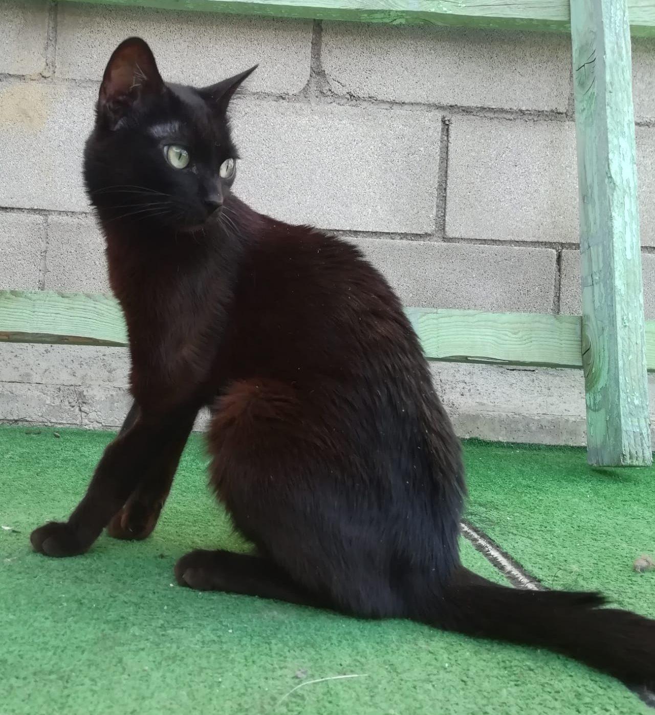 maya gata joven en adopción en la protectora de animales abandonados de Jaca 2021 huesca