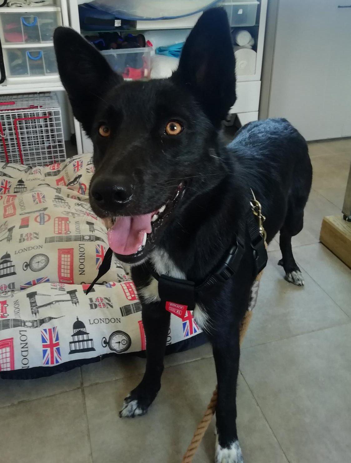 fiby perra cruce pastor joven en adopción en la protectora de animales de Jaca huesca 2021 perros abandonados y rescatados