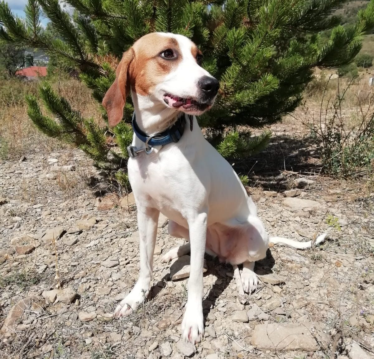 NAYA joven perra sabueso en adopción en la protectora de animales de Jaca ABANDONADOS HUESCA 2021