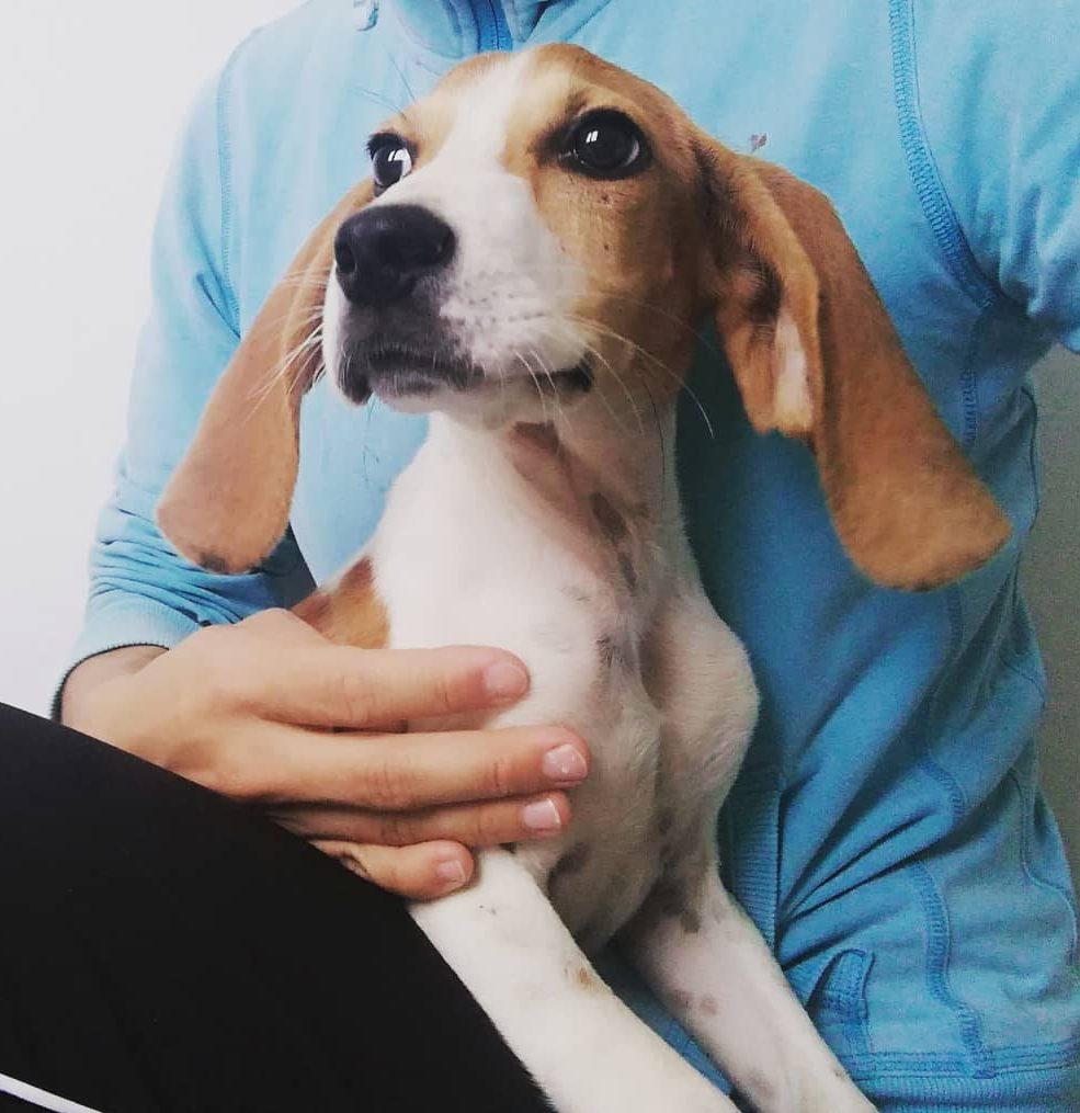 pumuki perro cachorro beable sabueso en adopción en la protectora de animales de Jaca huesca 2021